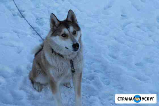 Вязка Лайка Саранск
