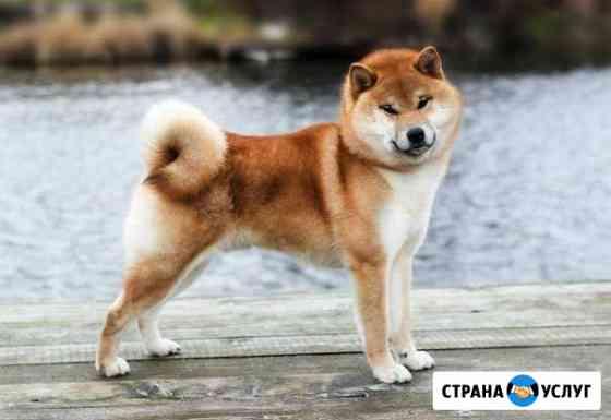 Предлагается для вязки кобель сиба ину Северодвинск