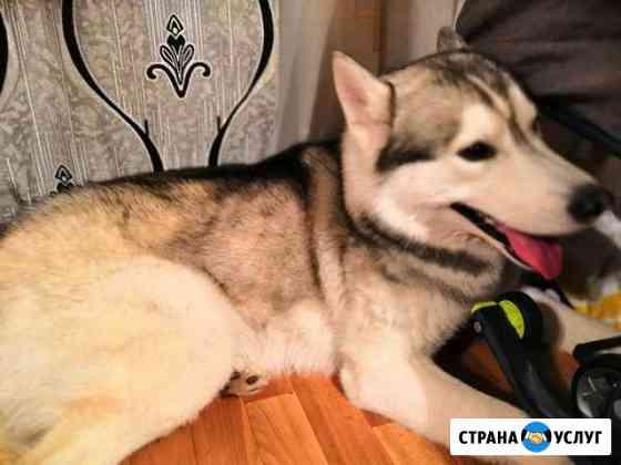 Вязка Сибирской Хаски Новокузнецк