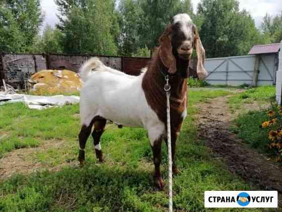 Нубийский козёл на случку Орехово-Зуево