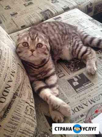 Шотландский вислоухий кот на вязку Петрозаводск