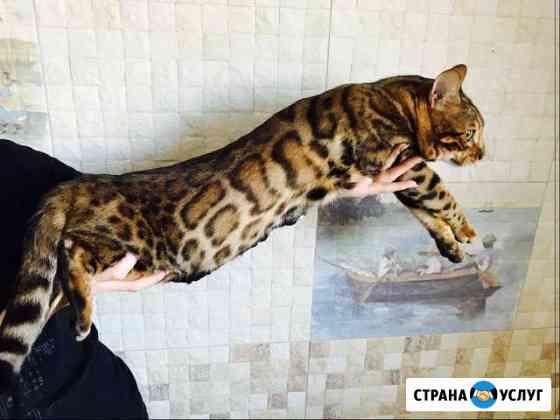 Бенгальский леопардовый кот чистый n24 для вязок Ухта