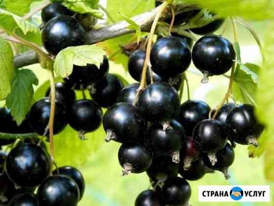 Ягоды чёрной смородины Архангельск