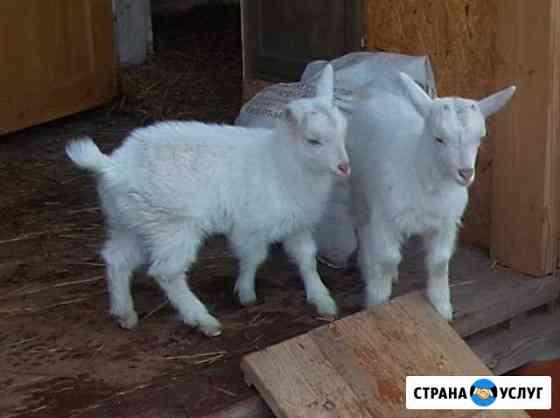 Расчистка и обрезка копыт козам Середка