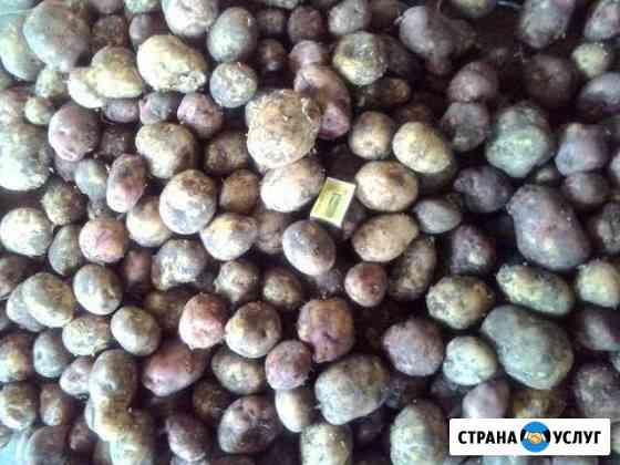 Картофель Чита