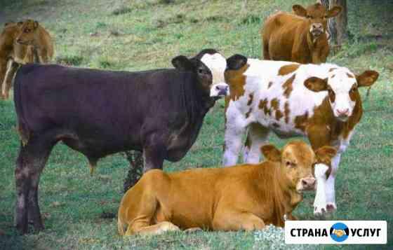 Коров быков свиней и вынужденный забой Курган