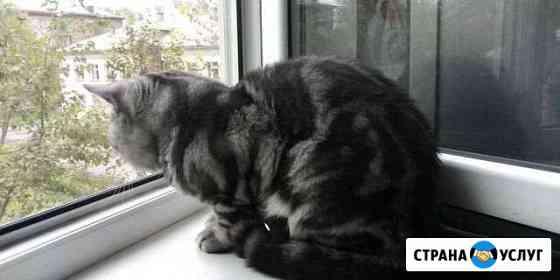 Кот на вязку (чистокровный британец) Череповец