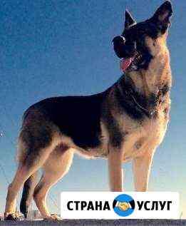 Услуги кинолога по дрессировкам и вязке собак Владивосток