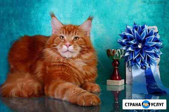 Кот - Чемпион, ищет невесту для вязки Петрозаводск