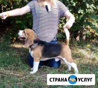 Кобель бигля приглашает на вязку Челябинск
