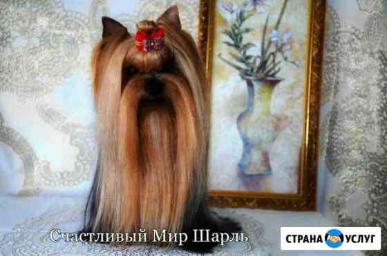 Вязка йоркширский терьер Саранск