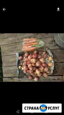Картофель Домна