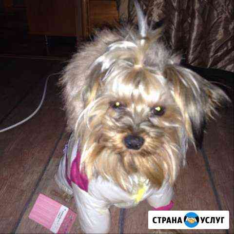 Кобель для вязки Мурманск