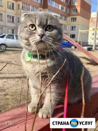 Вязка шотландского вислоухого кота Псков