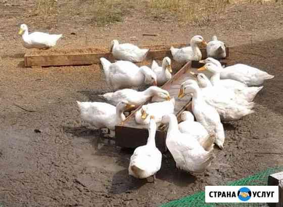 Мясо утки Омск
