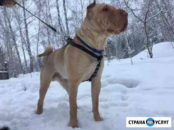 Вязка Шарпей Омск