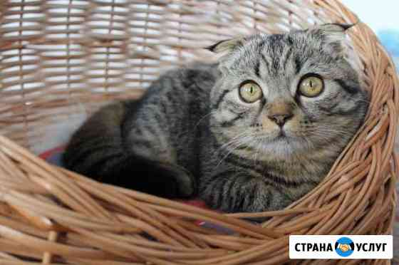 Шотландский вислоухий котик на вязку Шумерля