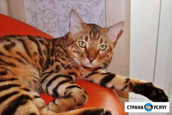 Бенгальский кот вязка Смоленск
