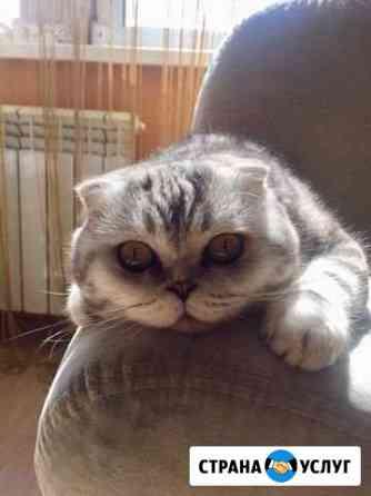 Шотландский кот. Вязка Чебоксары