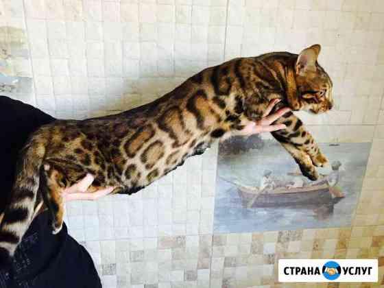 Вязка с бенгальским котом с документами Сыктывкар