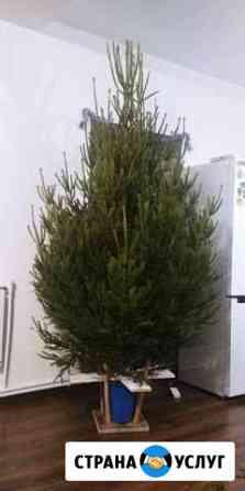 Живые елки Арзамас