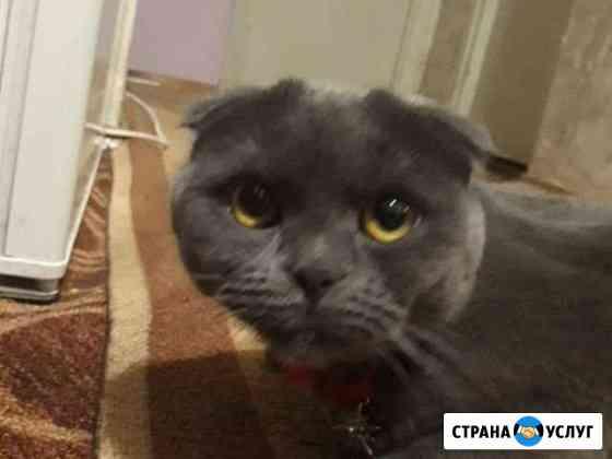 Вязка ищем шотландского вислоухого кота Петрозаводск