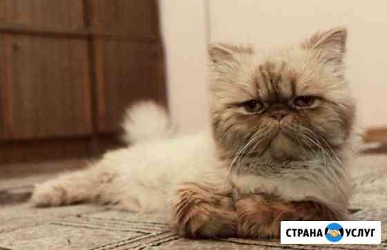 Персидский кот ищет кошку Чита