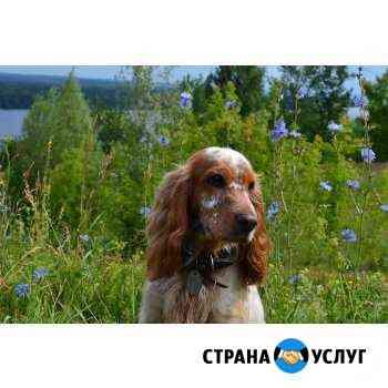 Русский охотничий спаниэль (5 лет) ищет невесты Нижний Новгород