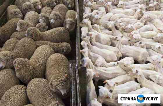Стрижка овец машинкой Саранск