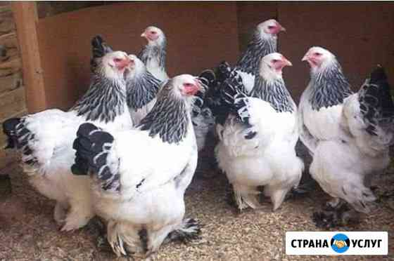 Своя Ферма.Предлагаем мясо, яйца, сыр Абадзехская