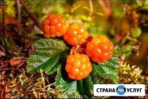 Ягода, Морошка Петрозаводск