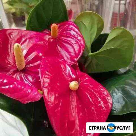 Пересажу цветок Томск