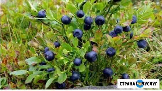 Лесная и домашняя ягода Тверь
