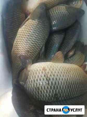 Привезу живую рыбу на дом карп карась и т д от 5 к Смоленск