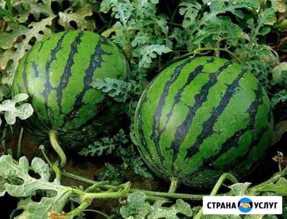 Арбузы,дыни,овощи Астрахань