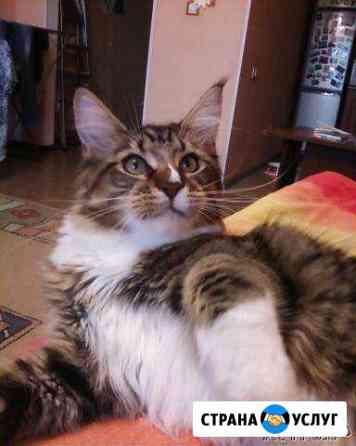 Титулованный кот Мейн-кун ищет кошку этой же пород Тюмень
