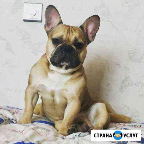 Французский бульдог ищет подругу (Вязка) Саранск