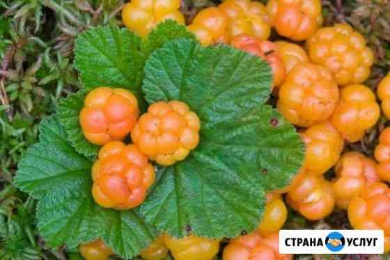 Принимаю заказы на ягоду Морошку Петрозаводск
