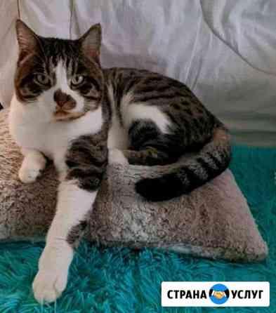 Вязка британского кота на нашей территории Благовещенск