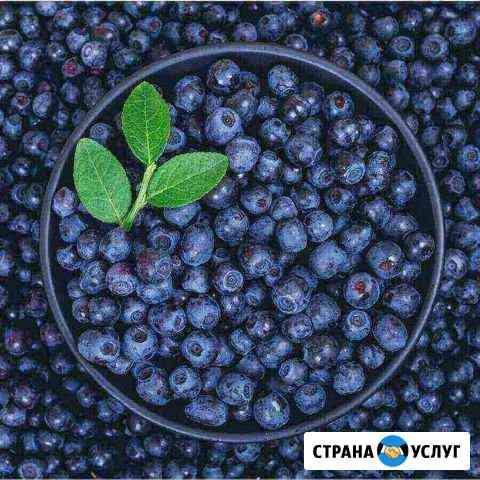 Черника Вологда