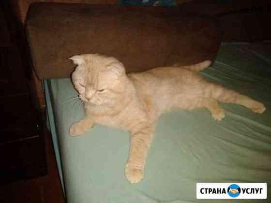 Вязка с шотландским вислоухим котом Калининград