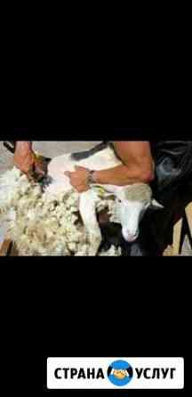 Стрижка баранов, овец Ижевск