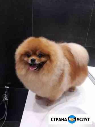 Груминг шпица. Стрижка собак Барнаул