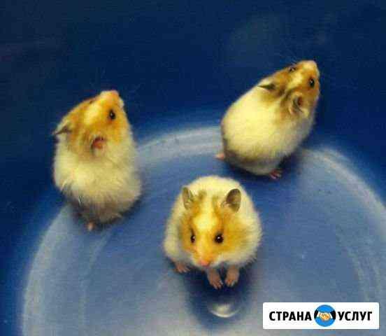 Передержка хомяков, мышей и д.р. грызунов Губкинский