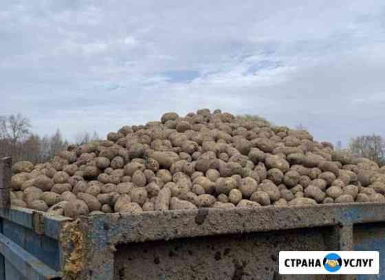 Картофель урожая 2020 года Клинский район Козлово