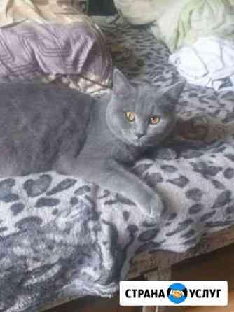 Предлагаю британского кота на вязку Ангарск