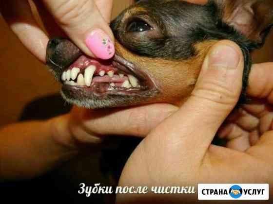 Чистка зубов собакам, кошкам без наркоза Калининград
