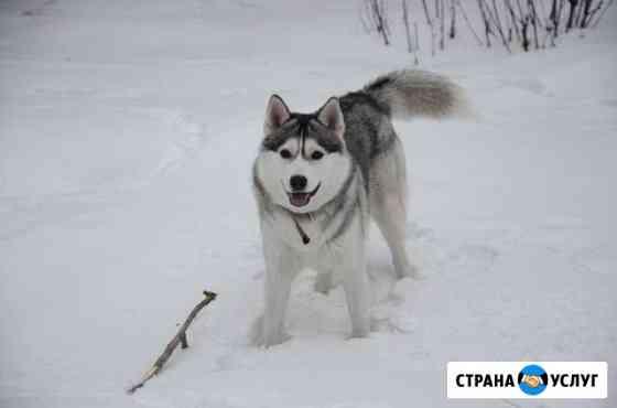 Вязка сибирский хаски Омск