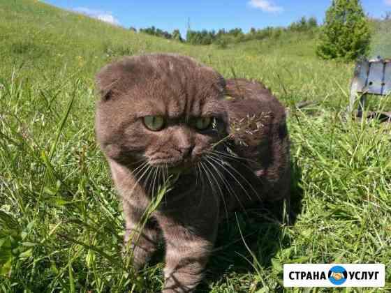 Шотландский кот для вязки Димитровград