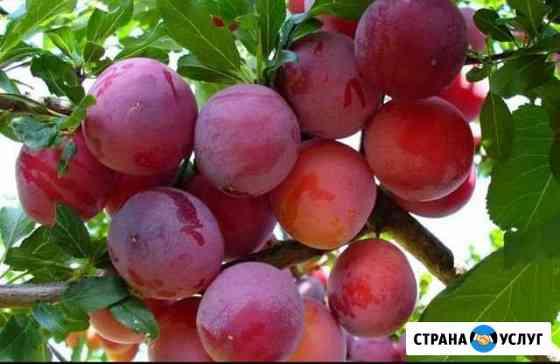 Алыча Трубчевск